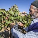 Selendi'de yayla bağcılığında ilk hasat yapıldı