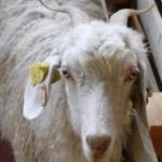 Çiftçilere Ankara keçisi verdiler
