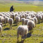 Muş'ta 6 bin TL maaşla çoban aranıyor