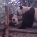 Anne pandadan çocuklarına hayat dersleri