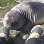 Kokudan bayılan fok balığı rekor kırdı