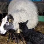 Koyunlar beşer beşer doğurunca zengin oldu!