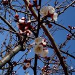 Manisa'da meyve ağaçları çiçek açtı
