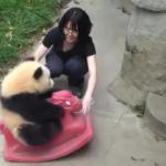 Sevimli pandanın oyuncak keyfi güldürdü
