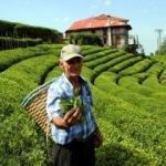 Beyaz çayın hasadı başladı