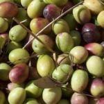 Ayvalık zeytinini Hong Kong'a taşıdı