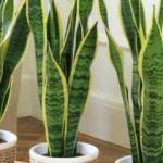 Evde yetiştirilmesi gereken 5 şifalı bitki