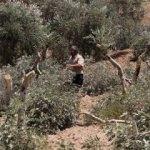 Filistinlilerin zeytin ağaçlarını kestiler