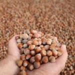 TMO üreticiden 41 bin ton fındık aldı