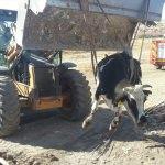 Kulu'da çukura düşen inek kurtarıldı