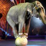 Ünlü fil sahibinin üstüne oturarak öldürdü