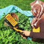 Çay üreticisine kilo başına 13 kuruş ödenecek