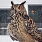 """Nadir görülen """"Puhu"""" kuşu tedavi ediliyor"""