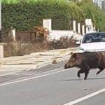 İzmir'in göbeğinde yaban domuzu şoku!