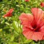 Yağ yakan hibiskus şerbeti tarifi