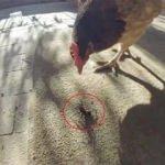 Tavuk, zehirli örümcekle karşılaşınca...