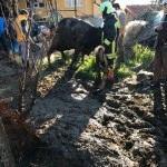 Foseptik çukuruna düşen inek kurtarıldı