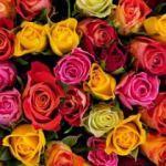 Güllerin renklerinin anlamları