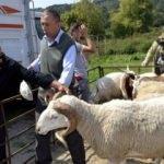 300 koyun+maaş heyecana yol açtı! Aileler...