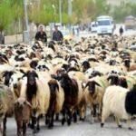 300 koyun projesi'ne yoğun talep