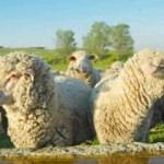 TİGEM 300 koyun destek başvurusu için son saatler! Başvuru detayları...