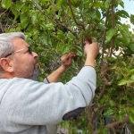 Üretici şaşkın! Ağaçlar Şubat ayında meyve verdi