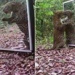 Leoparın aynayla imtihanı