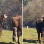 Dilini ağzına sokmayı beceremeyen inek