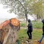 Polen yayıyor diye ağaçları kestiler