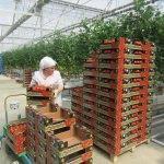 Sandıklı domatesi büyükşehirlerden talep görüyor