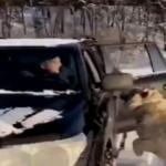 Kaplanları arabasıyla gezintiye çıkardı