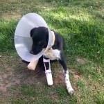 Bacakları kapana sıkışan köpeğe protez takılacak