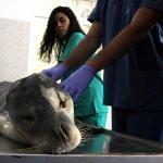 İzmir'de ölü Akdeniz foku bulundu