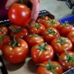 Rusya'dan 5 Türk firmasına daha domates izni