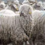 Ankara keçisi olay oldu! Kullanımdan kalkıyor