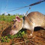 Bu fareler hayat kurtarıyor