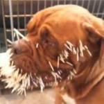 Kirpiye saldıran köpek hayatının hatasını yaptı!