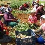 Taze sarımsak hasadında 15 bin tarım işçisi çalışıyor