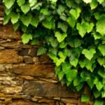 Asma yaprağının faydaları nelerdir? Hangi hastalıklara iyi gelir?