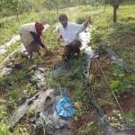 Domuzlar çilek tarlasına zarar verdi