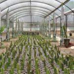 Tayland'da tattı Aydın'da üretiyor