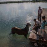 Sıcak havada bunalan atları nehirde serinletiyorlar
