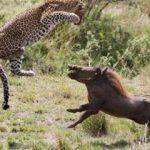 Hamile leopardan inanılmaz taktik