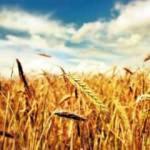 Tekirdağ'da buğday hasadı başladı