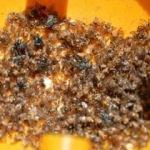 İhracatta 'Akdeniz meyve sineği' korkusu