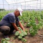Suriyeli aileler seracılıkla hem üretiyor hem kazanıyor