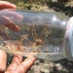 Et yiyen örümceği bakın nasıl avlıyorlar