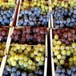 Türkiye'nin yaş üzüm ihracatında büyük artış