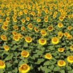Milyonlarca ayçiçeğinin görüntüsü mest etti!