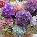 Ortanca çiçekler nasıl renklendirilir?